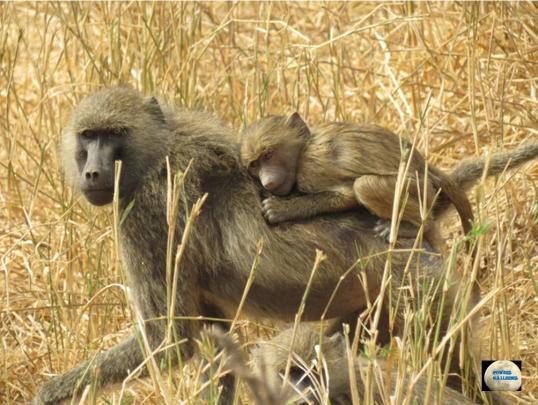 001-Baboons