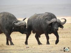 002-Cape Buffalo