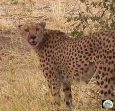 003-Cheetah