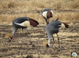 004-Crowned Cranes