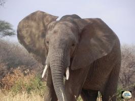 005-Elephant