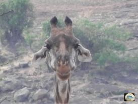 007-Giraffe