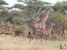 007a-Giraffe