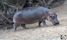 008-Hippo