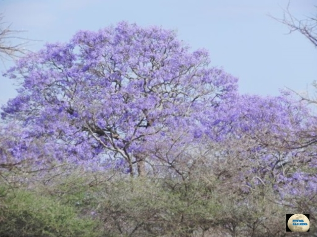 010-Jacaranda Tree