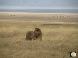 012-Lion