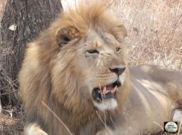 012a-Lion