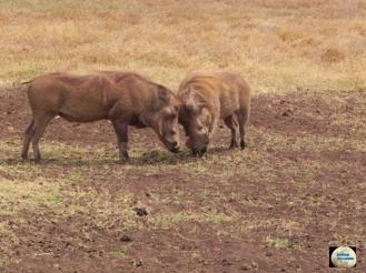 017-Warthogs