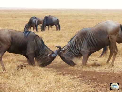 018-Wildebeests