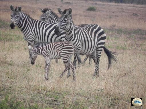 019-Zebras